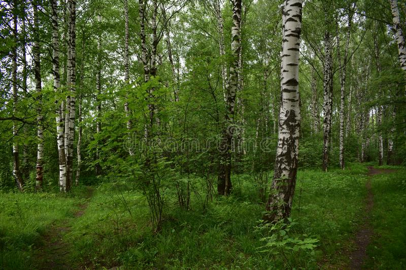 Crossroads of paths in the birch forest grove, lush grass stock image