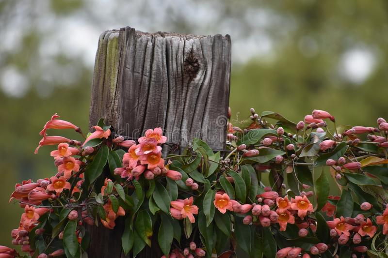 Crossvine on a East Texas Fence. This is flowering Crossvine on a fence post in East Texas stock image
