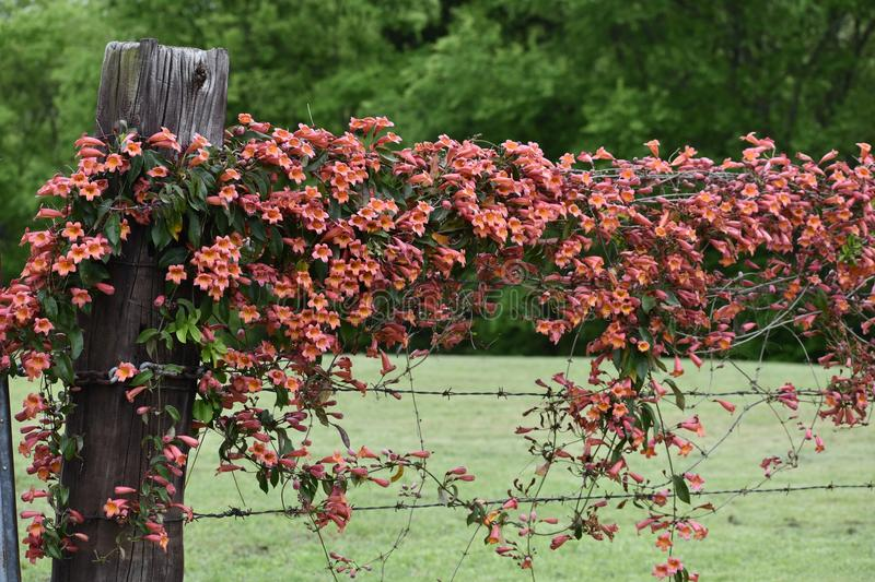 Crossvine on a East Texas Fence. Flowering Crossvine on a fence and fence post in East Texas royalty free stock images