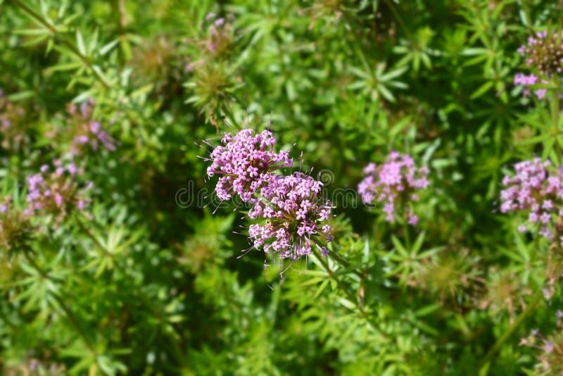 Crosswort caucasico fotografia stock