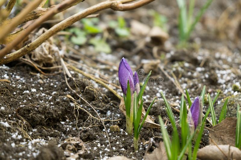 Crosus flowers and other spring flowers in grass in garden. Crocus flowers and other spring flowers in grass in garden. Slovakia royalty free stock images