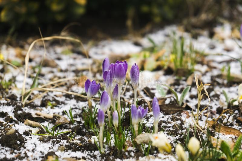 Crosus flowers and other spring flowers in grass in garden. Crocus flowers and other spring flowers in grass in garden. Slovakia royalty free stock photo