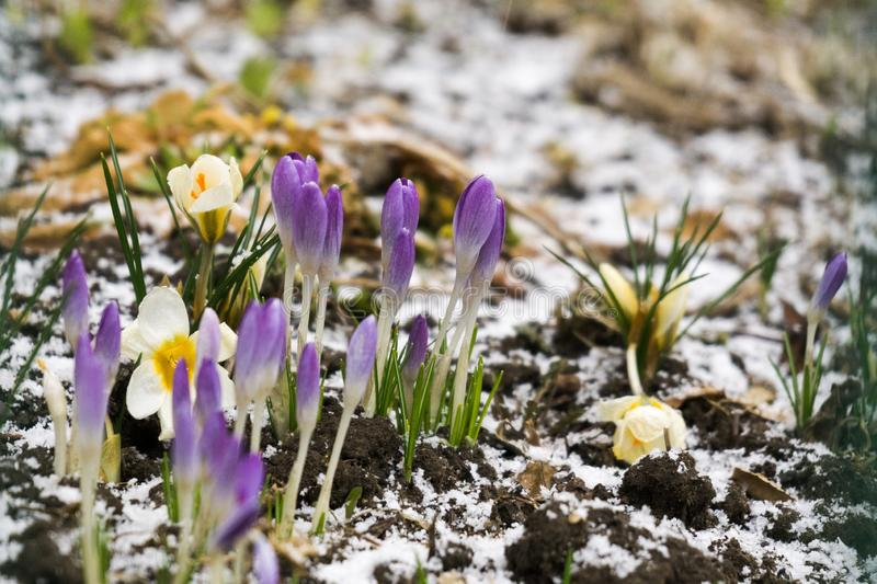 Crosus flowers and other spring flowers in grass in garden. Crocus flowers and other spring flowers in grass in garden. Slovakia stock photos