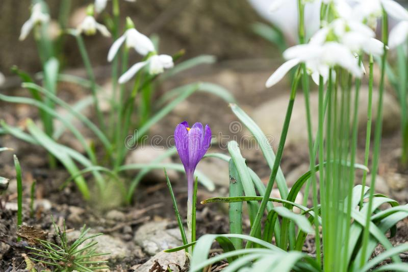 Crosus flowers and other spring flowers in grass in garden. Crocus flowers and other spring flowers in grass in garden. Slovakia stock photo