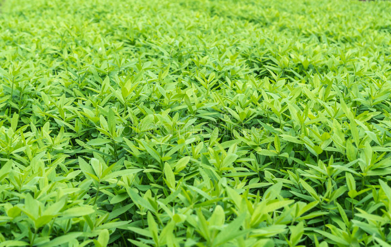 Crotalaria, cover crop keeps soil moisture. Improves damage farmland, treats sour and acid soil stock photo