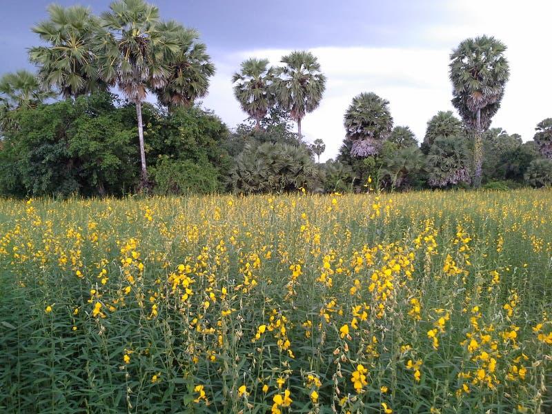Crotalaria fields перед отрезком вниз для сделанный taddy в Songkhla, Таиланде стоковые изображения rf