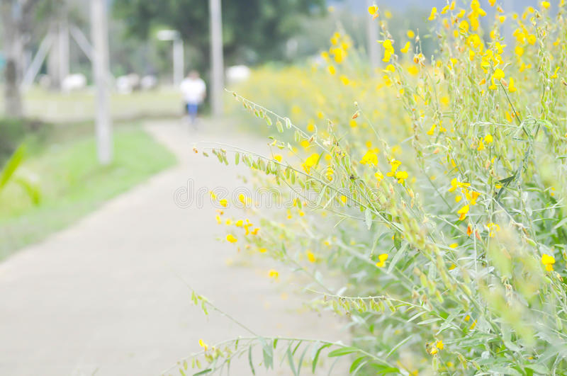 Crotalaria juncea ,Indian hemp or Madras hemp. Plant near the road royalty free stock photo