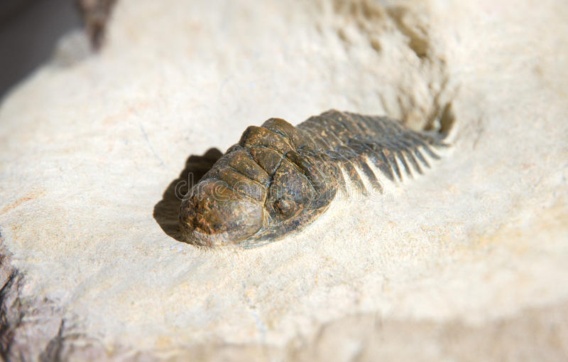 Crotalocephalus Gibbus trilobite fossil close up in a bedrock base. Crotalocephalus Gibbus trilobite fossil close up in bedrock royalty free stock image