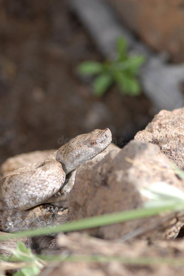 Crotalus obscurus photo stock
