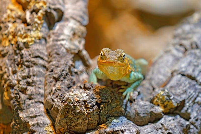 Crotaphytus collaris,东部抓住衣领口的蜥蜴,在老树干 爬行动物在自然栖所,墨西哥 与动物的热的晴天 免版税库存照片