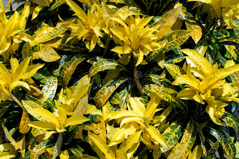 Croton. stockbild