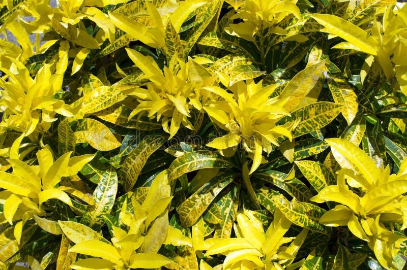 Croton. lizenzfreie stockbilder