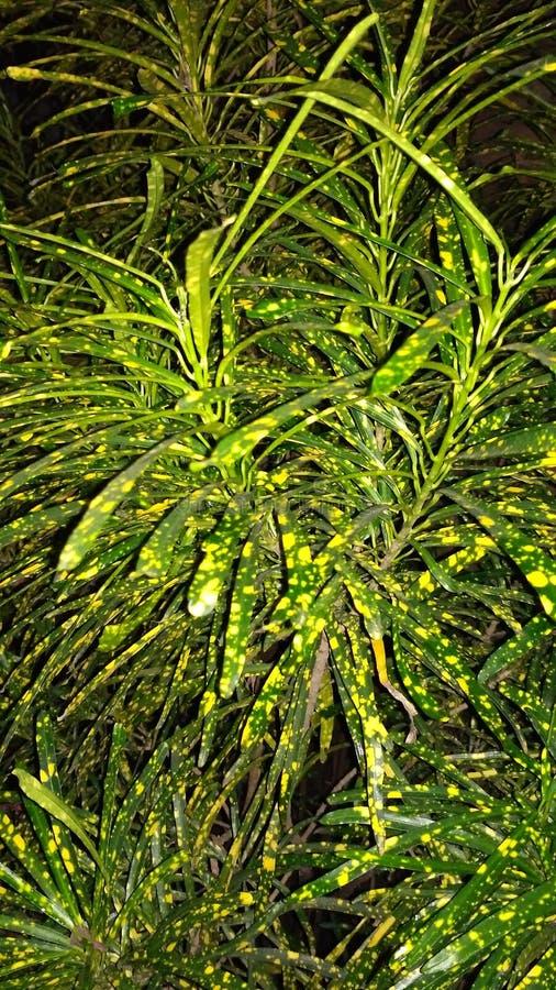 Croton imagens de stock royalty free