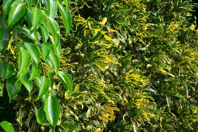 Croton stock foto's