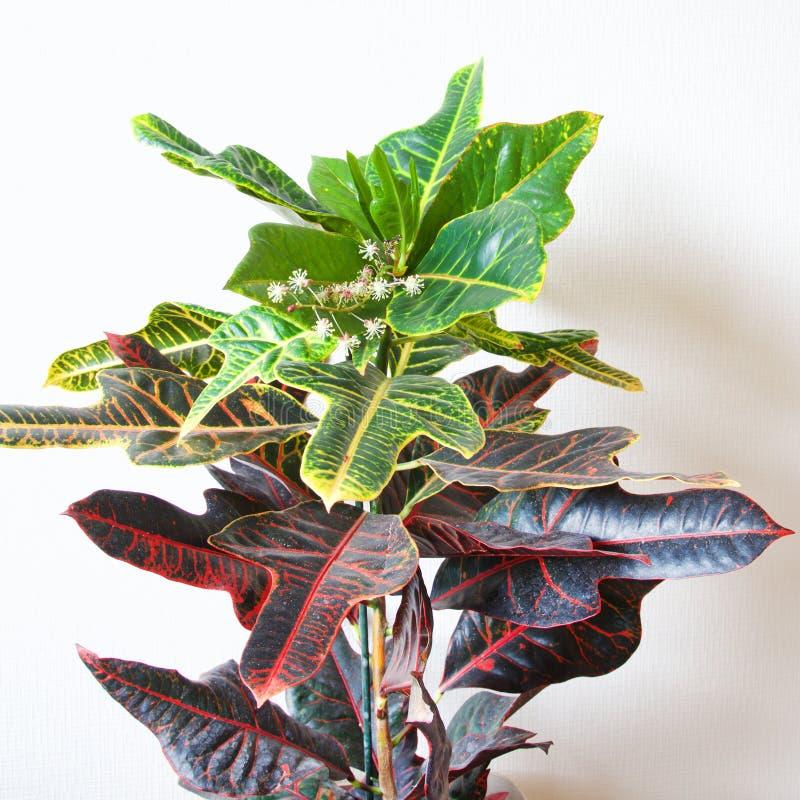 Croton-Anlage in der Blume stockfoto