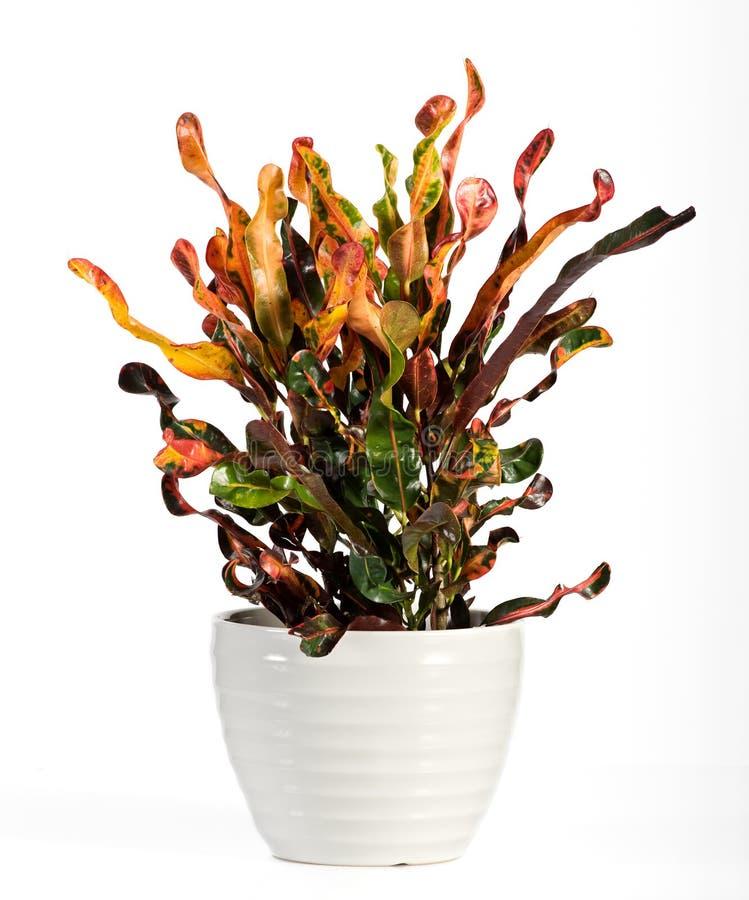 Croton-blühende Pflanze auf weißem Topf stockbild