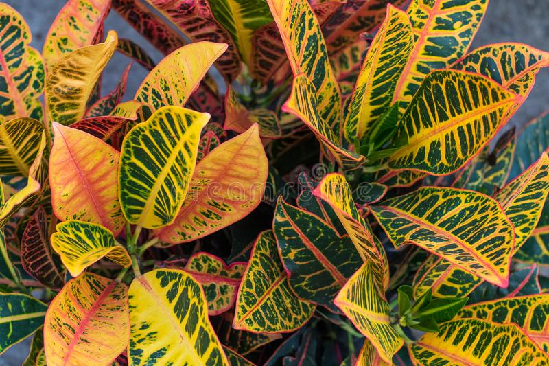 Croton & x28; Codiaeum variegatum& x29; installaties met kleurrijke bladeren in tropische tuin stock afbeeldingen