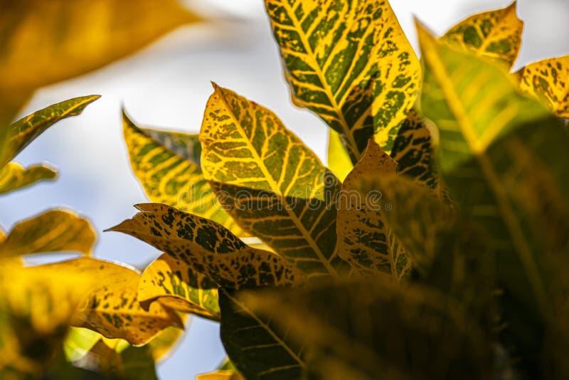 Croton, Codiaeum variegatum Leaves 5. Croton, Codiaeum variegatum Leaves: A tropical ornamental plant royalty free stock photo