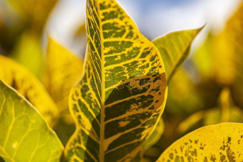 Croton, Codiaeum variegatum Leaves. A tropical ornamental plant stock image