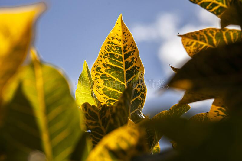 Croton, Codiaeum variegatum Leaves 3. Croton, Codiaeum variegatum Leaves: A tropical ornamental plant royalty free stock photo