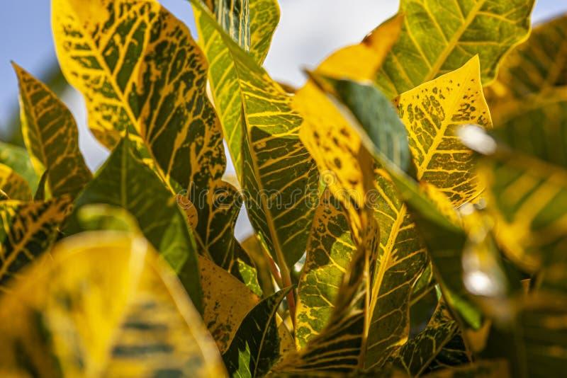 Croton, Codiaeum variegatum Leaves 4. Croton, Codiaeum variegatum Leaves: A tropical ornamental plant royalty free stock images