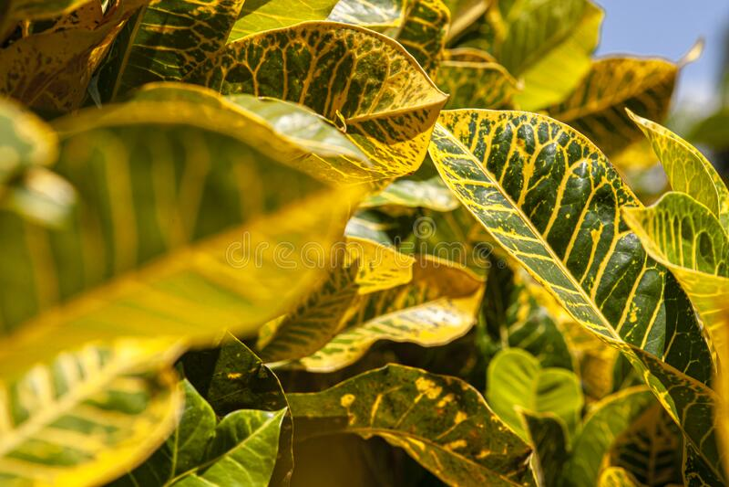 Croton, Codiaeum variegatum Leaves 6. Croton, Codiaeum variegatum Leaves: A tropical ornamental plant stock photography