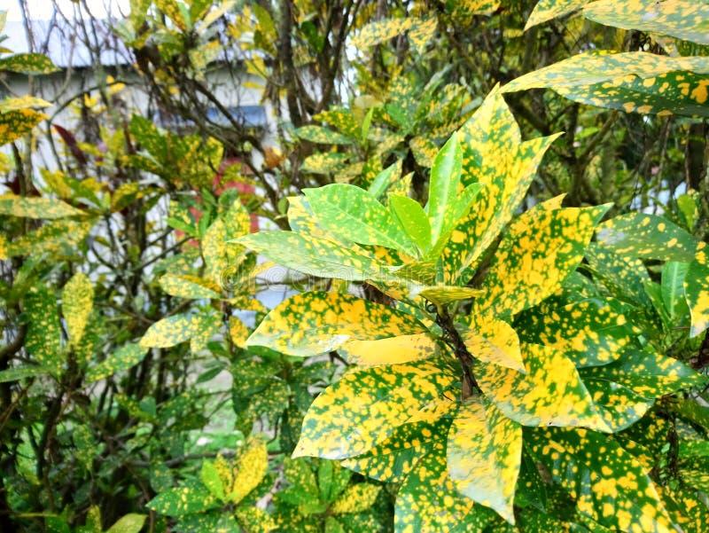 Croton del giardino immagine stock libera da diritti