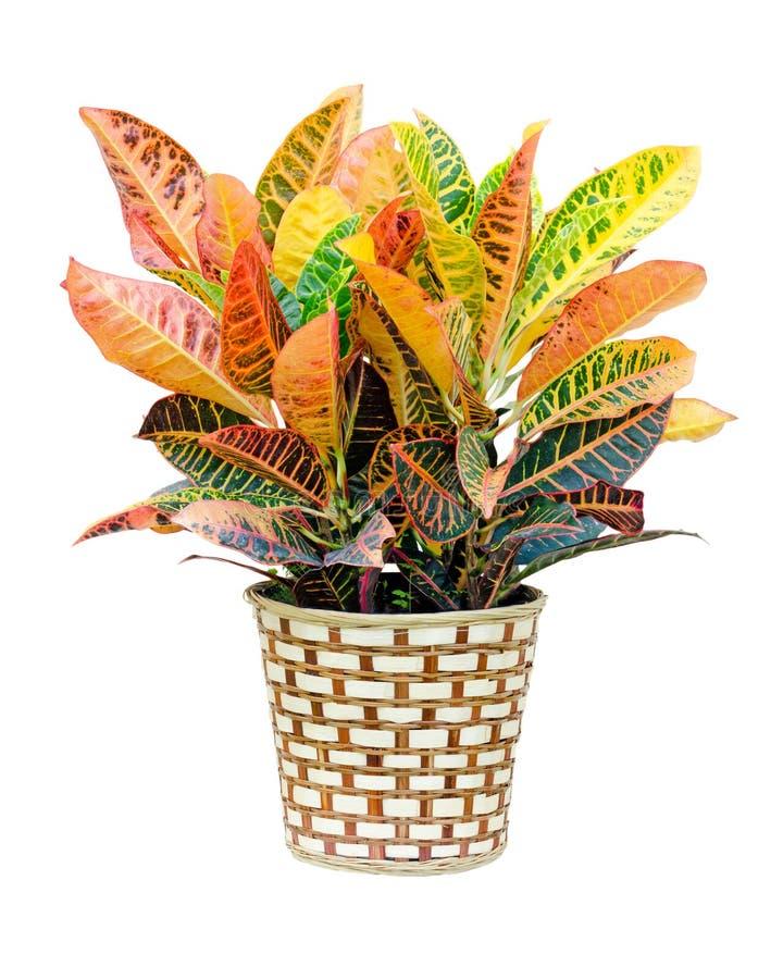 Free Croton House Plant Royalty Free Stock Photo - 25457805
