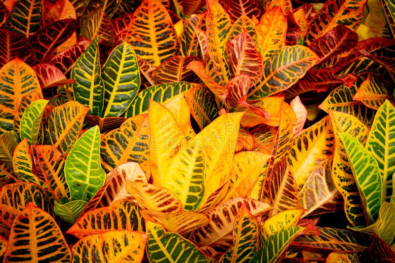 Crotonanlage lizenzfreie stockbilder