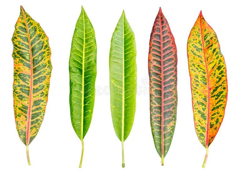Crotonblad royalty-vrije stock afbeelding