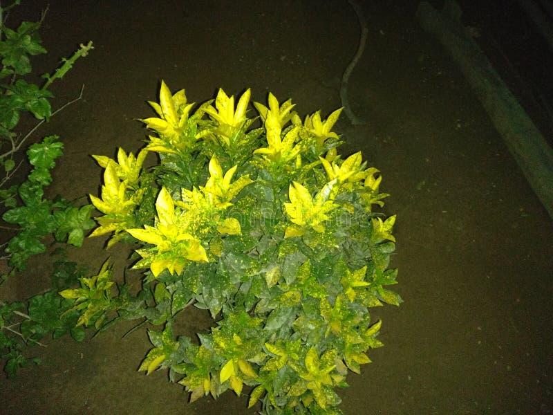 Crotons стоковое изображение