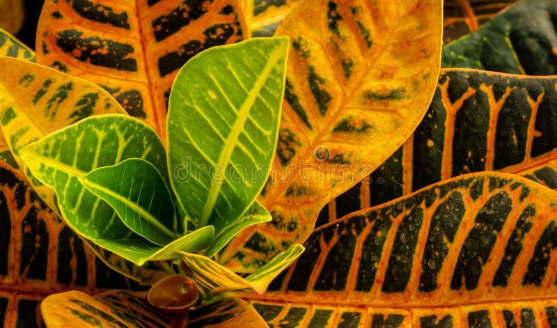 Crotonväxt i blom, färgrika sidor arkivbilder