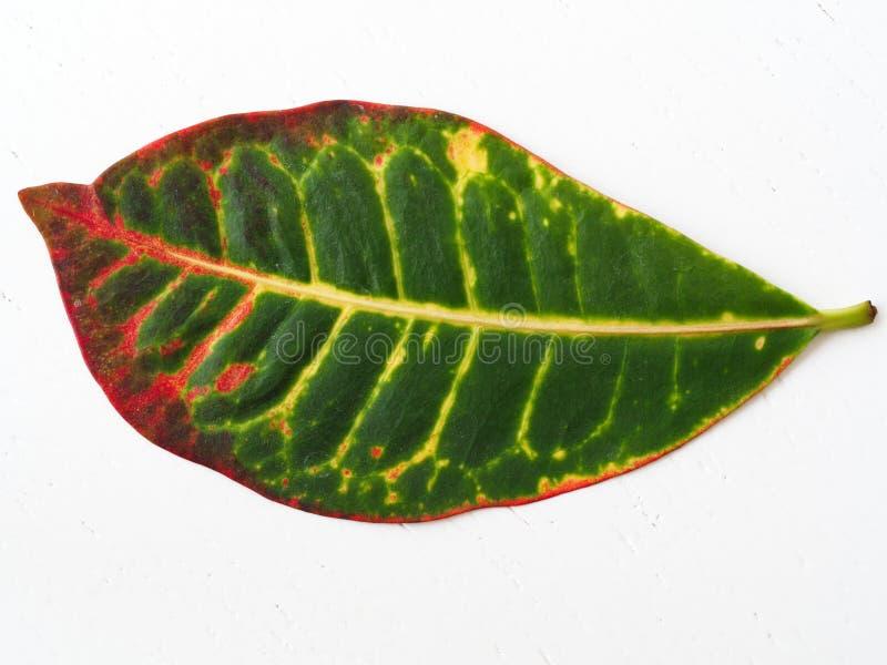 crotonväxtblad arkivbild