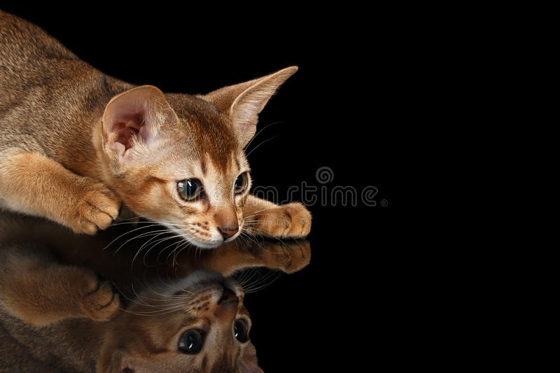 Crouching Abyssinian Kitten on mirror and Looking Right isolated black royalty free stock photography