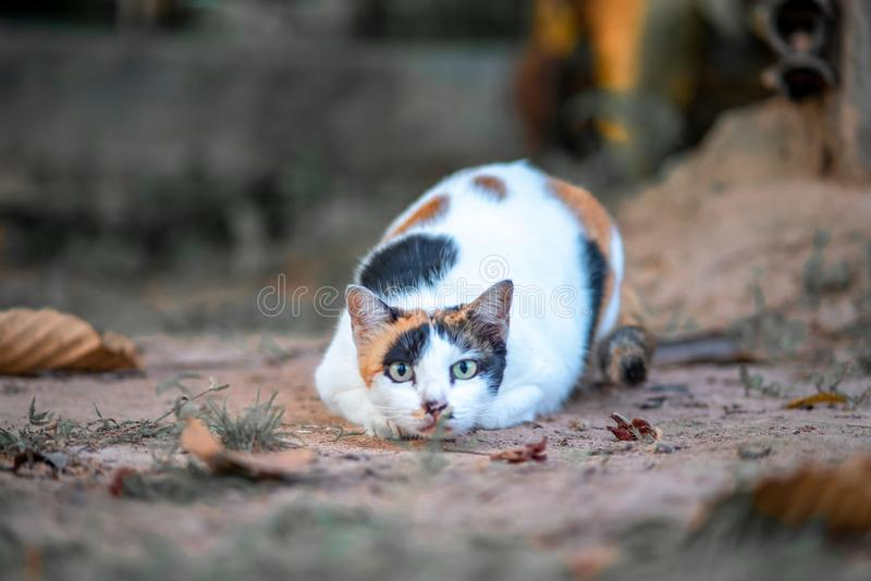 A crouching cat is ready to attack its prey. A tri-colored cat is crouching on the ground and staring at its prey. She is ready for the attack stock image
