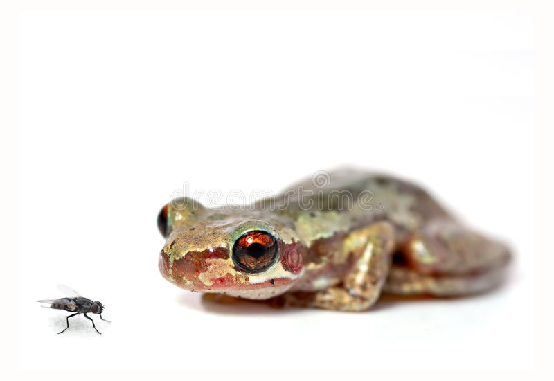 Download Crouching frog and fly stock image. Image of eyes, bleating - 2584781