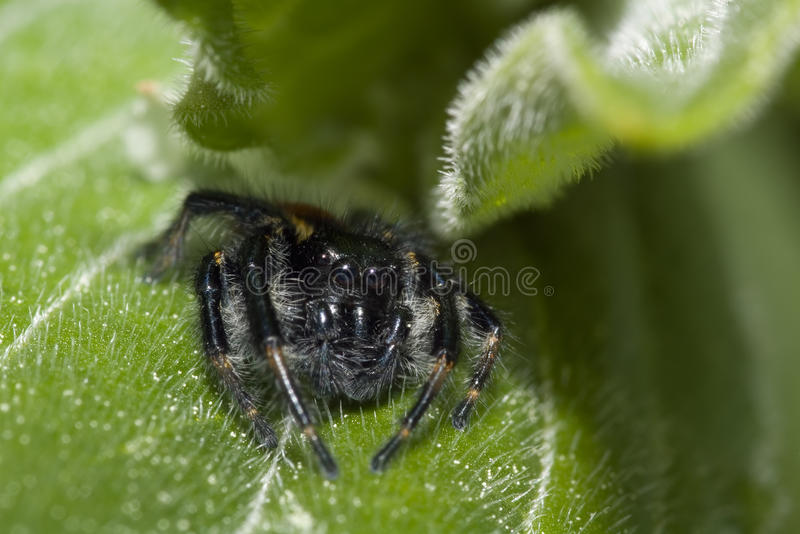 Download Crouching Jumping Spider stock image. Image of nobody - 23641035