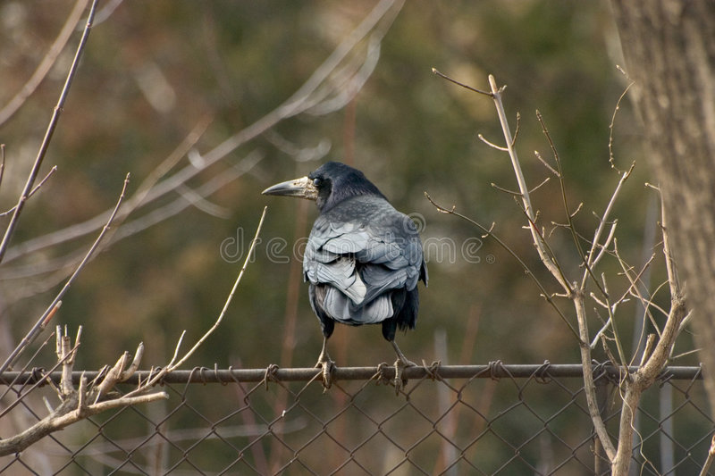 Download Crow Royalty Free Stock Photos - Image: 112368