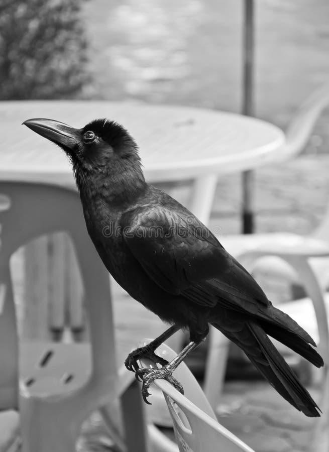 Free Crow Stock Photography - 16449542