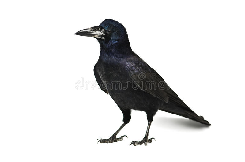 Crow. Black crow isolated on white