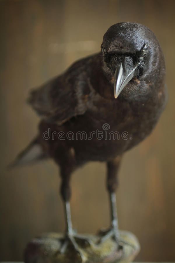 Download Crow stock photo. Image of post, feather, avian, curved - 27858658