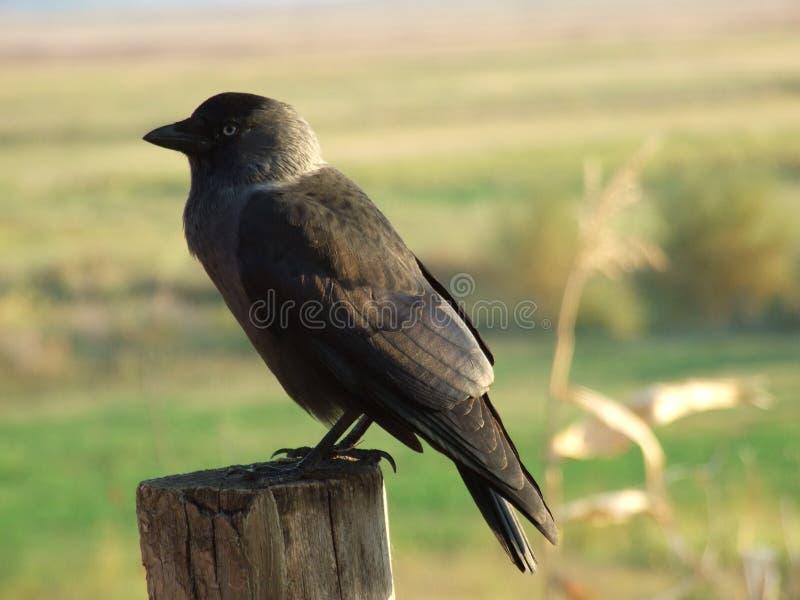 Download The crow stock image. Image of animal, pylon, bird, detail - 28205491