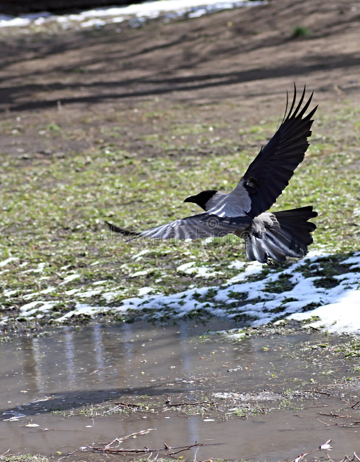 Download Crow stock photo. Image of scope, crow, snow, feathery - 9242188