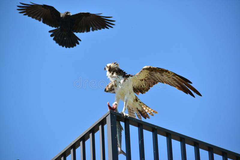 Crow attacks osprey. A crow is attacking an osprey who is having a fish in his claw royalty free stock photos