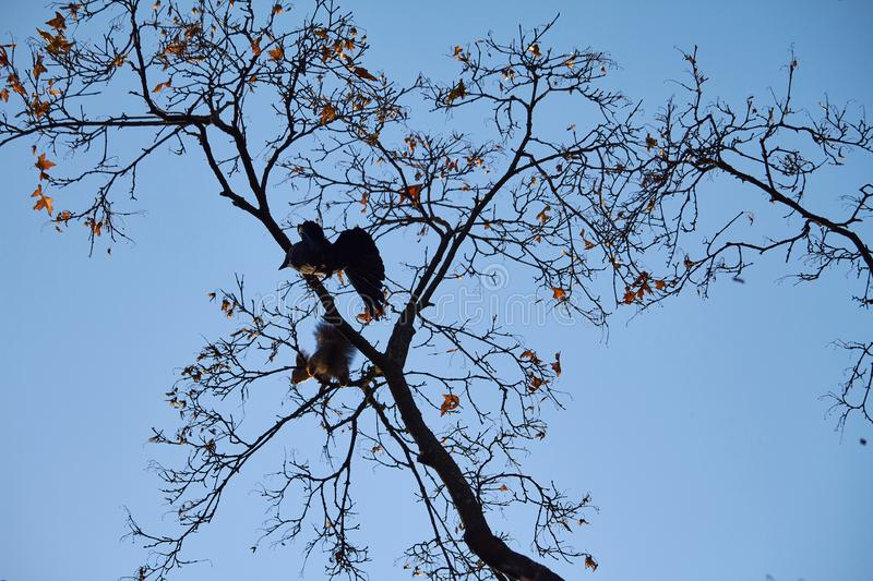 A crow attacks a red squirrel that sits on a tree branch against a blue sky. A crow attacks a red squirrel that sits on a tree branch against blue sky stock image
