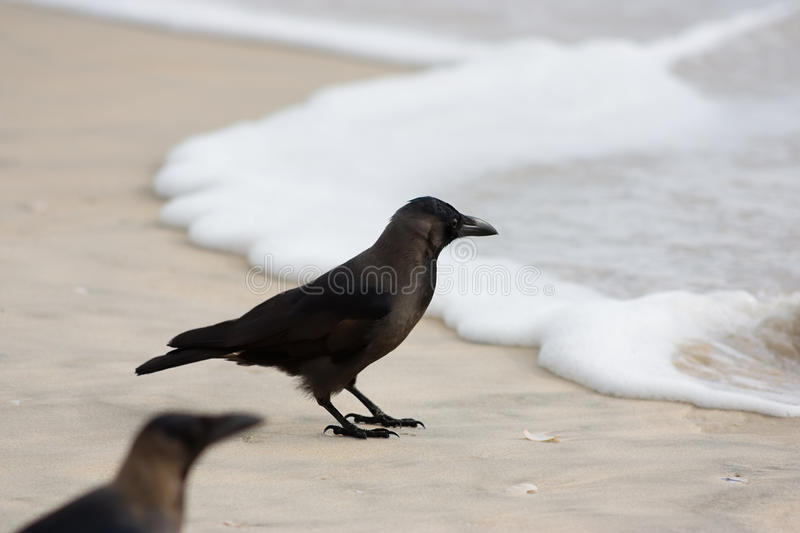 Download Crow On  Beach Stock Photos - Image: 10006853