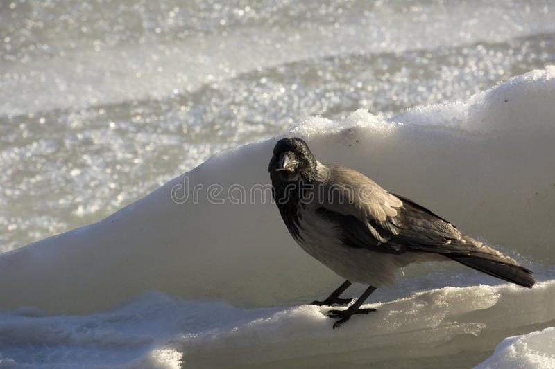 Crow, a bird with gray and black feathers is on the ice, winter, cold, looking. Crow, Raven, bird with gray and black feathers is on the ice, winter, cold royalty free stock images