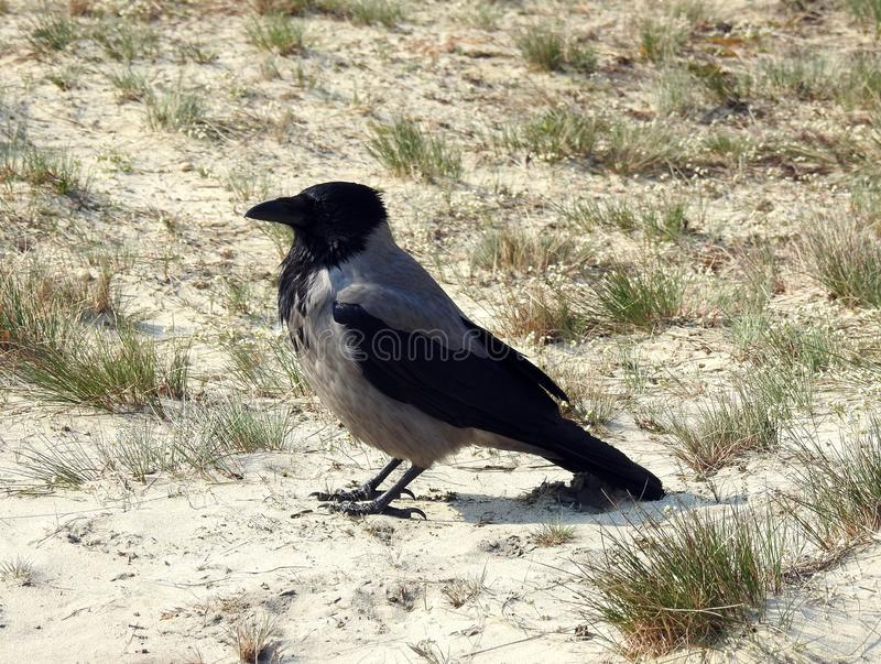 Crow bird on sand in spring, Lithuania royalty free stock photo