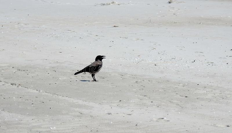 Crow bird on sand in spring, Lithuania stock images