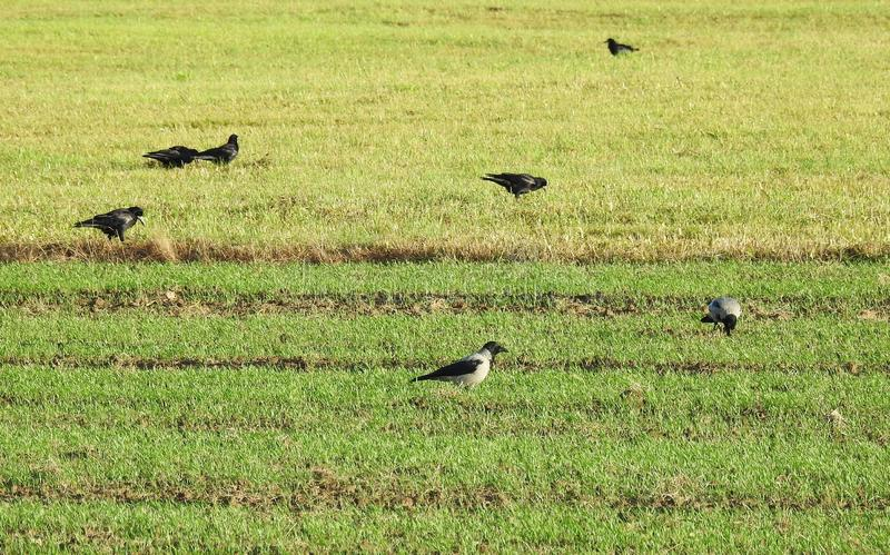 Crow birds on field, Lithuania stock photography